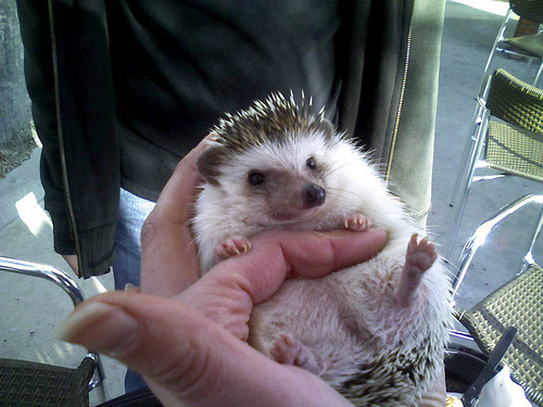 a hedgehog in my hand (via ohheygreat)  I keep wanting to post photographs I love but then I'd be flooding your dashboards and I don't want you to hate me. I mean really.  Except then I remembered this.  The time the hedgehog pooped in my hand.  HATE AWAY, HATERS
