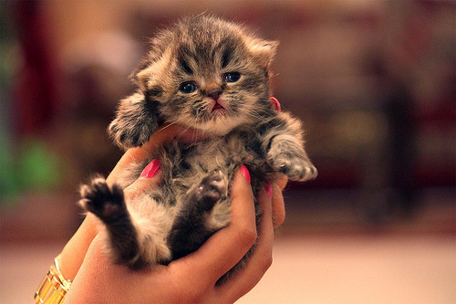 meghanrosette:  (via dreamandwake) I want a kitten!