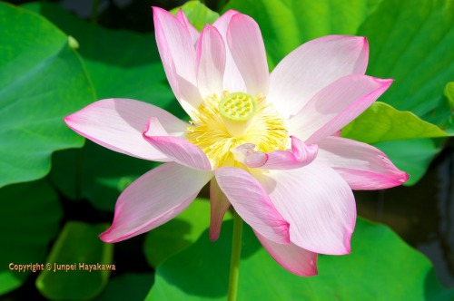 The lotuses are just coming into bloom.