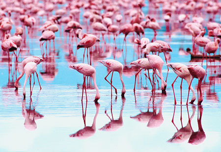 sixohthree:  Wildlife: Flamingos