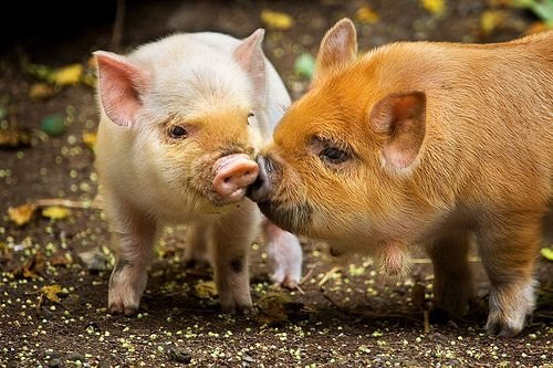 picture-perfect-world:  allcreatures:  debbipete:  Pig Kiss (by Dachshund Clube)
