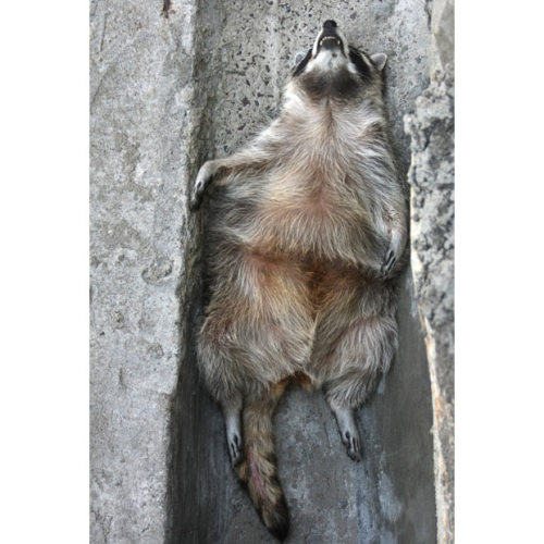 allcreatures:  A racoon lies in the shade of a ditch to hide itself from the sun at the zoo in Moscow. Temperatures in Russia's capital have been hovering around 35 degrees celsius, 95 Fahrenheit, all week Picture: AFP?GETTY (via Pictures of the day: 23 July 2010 - Telegraph)
