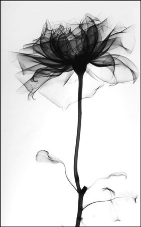 finkie:     x-ray image of a rose by albert koetsier     (via paynehollow)