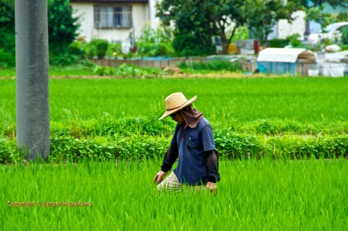 A farmer tends to his rice field. Hiratsuka, Kanagawa prefecture.