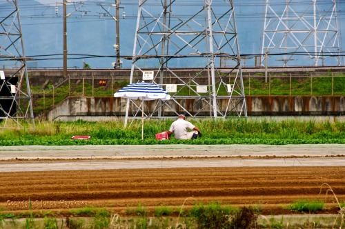 A farmer harvesting his cabbages. Hiratsuka, Kanagawa prefecture.