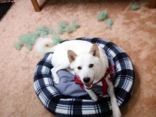 Today, Casper destroyed his new bed.