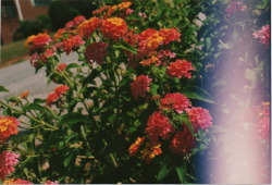 Lantana. I gave this kind of flower to my birthmother when I met her last September 11th. True story.  I like the camera glitch here. 07.10. Greenville, South Carolina.