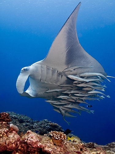 A Manta Ray with Remoras Remora n. Any of several marine fishes of the family Echeneidae,  having on the head a sucking disk with which they attach themselves to  sharks, whales, sea turtles, or the hulls of ships.* They don't just get a free ride and free food. It's a symbiotic  relationship as they, in turn, remove parasites from their bigger  buddies.[Photo: medu flickr.com/photos/medu/ ] *Latin, delay (from the belief that they could slow ships down), from remorārī, to delay : re-, re- + morārī, to delay (from mora, delay).