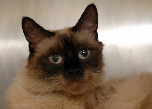 Lucy is a 10 years old Siamese - and extremely beautiful. Her fur is somewhat long and fluffy so she may have some Himmie or Ragdoll in her as well. She would probably be ok with 1-2 other mellow animals in a quiet home. If you live in the NYC area -please contact info@zanisfurryfriends.org if you could foster or adopt Lucy!!!