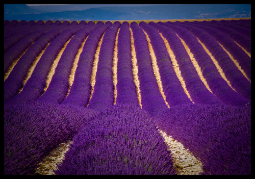 And we will never tire of another stunning field of lavender. fuckyeahprovence:  allthingseurope:  Lavender field in Provence France via