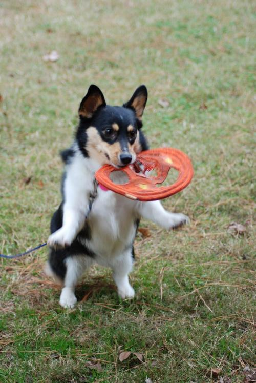 Corgis: Turning frisbees into tomato slices since 1963.