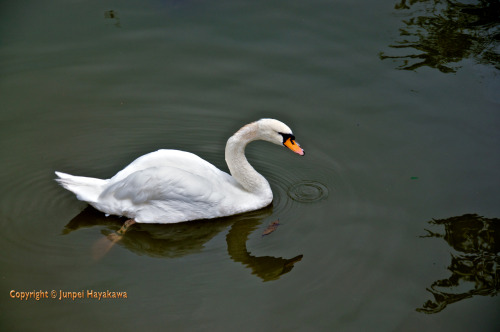 A swan in the moat of the Takeda shrine, Kõfu, Yamanashi prefecture.