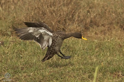 njwight:  Yellow-billed landing gear…  I am feeling ducky today!