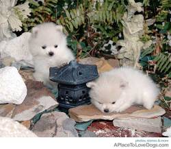 blackkittydoll Balla and Bollo, tiny white fluffy Pomeranians