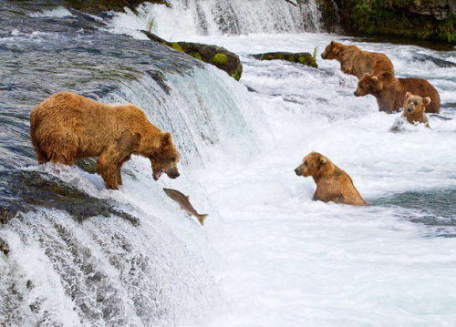 allcreatures:  Adult brown bears hunt for salmon at the Brooks River in Katmai National Park near Bristol Bay, Alaska Picture: MICHAEL S NOLAN / SPECIALIST STOCK / BARCROFT (via Pictures of the day: 6 August 2010 - Telegraph)