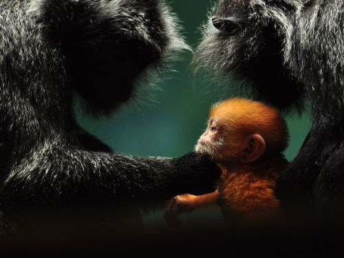 inothernews:  ORANGE WE GLAD   Just 12 hours old, a baby gibbon has his parents' full attention at the Columbus Zoo in Columbus, Ohio.  (Photo: Xen Riggs via National Geographic)