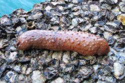 Sea Cucumber dick