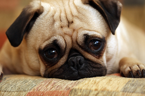 Oh le sad pug. (by Megan Lorenz)