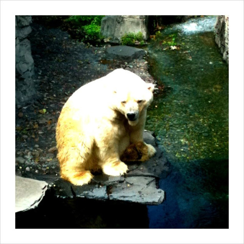 "Sad Polar Bear, CPK Zoo, NYC, 08.13.10 - Shortly after this photo was snapped, the polar bear slowly turned his back to everyone, waited for a moment, and took a dump into his swimming lagoon. I'd like to think it was his way of saying ""fuck off"" to the crowd staring at him."