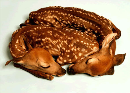 (via stoopidgerl)  Unborn taxidermy fawns that never opened their eyes.