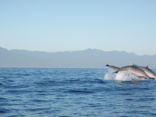 Chasing dolphins at Lovina beach Bali. Taken June 2010.  Set out to sea before the sun rises on a small boat/sampans. Seeing these wild dolphins early in the morning is definitely a good day-starter. But be quick to press the camera shutter!  by atiqahrad