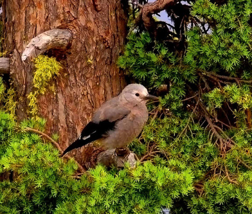 CLARK'S NUTCRACKER (by Michael) Lake Clark National Park, Alaska. (it rhymes!!)