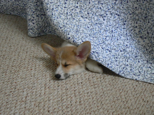 Corgi puppy does not yet grasp the concept of 'hide and seek', but is quite proficient at 'nap time'.
