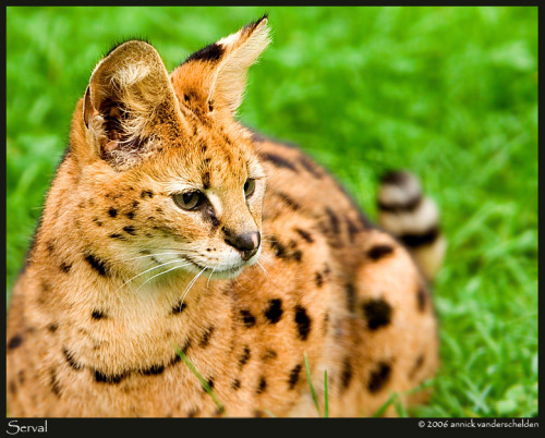 serval photo by Annick Vanderschelden