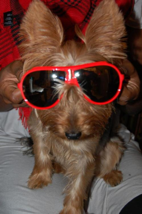 Yorkie wearing sunglasses. fuckyeahadorablepuppies:   My Yorkie Hana Moon :-) Submitted by lovefairy