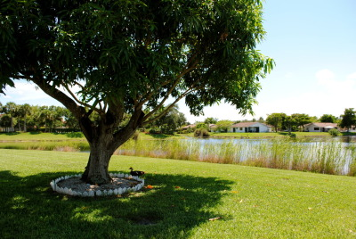 The mango tree. August2010 Florida <3 (my home for the next few weeks)