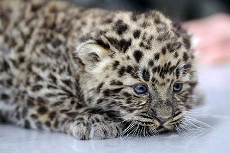 i wish amur snow leopard can be a pet. they are so cute and adorable. i really wanna cuddle them.