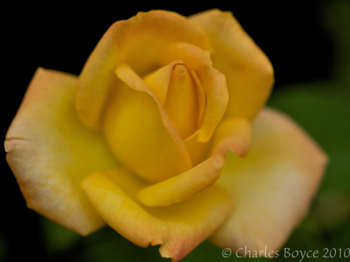 A yellow rose from the front yard