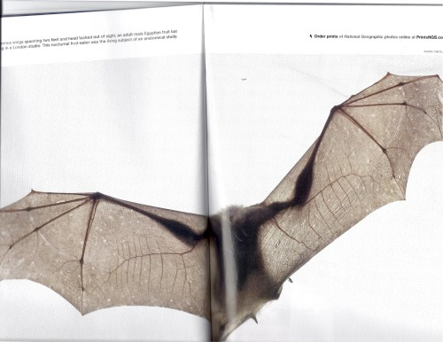 A bat from National Geographic I wish I could've scanned the whole thing, stupid short scanner.