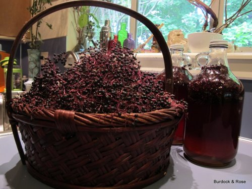 Elderberries!!!! Will make up a bit more Elderberry Elixir (shown) for wintertime, dry some, and maybe a special batch of jam for a friend.