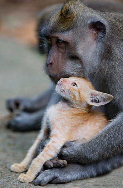 The monkey and the kitten A wild-long tailed macaque monkey has adopted an abandoned kitten at Ubud's Monkey Forest in Bali. More pictures here at Guardian UK  via iambal: mabelmoments