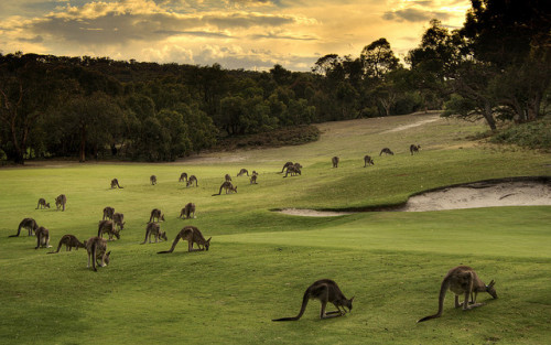 Kangaroos on the Anglesea Golf Course in Victoria, Australia © Leon Rice-Whetton