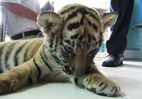 fuckyeahbigcats:  Live Tiger found in check-in baggageA two-month old tiger cub was found sedated and hidden among  stuffed-tiger toys in the luggage of a woman at Bangkok's Suvarnabhumi  International Airport on Sunday. Continue reading. Photo: Sulma Warne / TRAFFIC