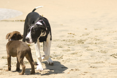 Hurley finds a new friend at the beach. (photo by me)