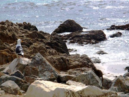 Very emo seagull on some rocks, looking out to the sea. 17-Mile Drive, California