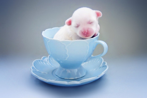 present:fuckyeahcuteanimalss:Teacup Puppy :) (by Amy)