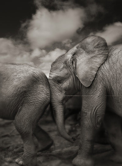 Photographic show in London next week, David Sheldrick's photos of orphaned elephants. Excerpts on The Guardian today.