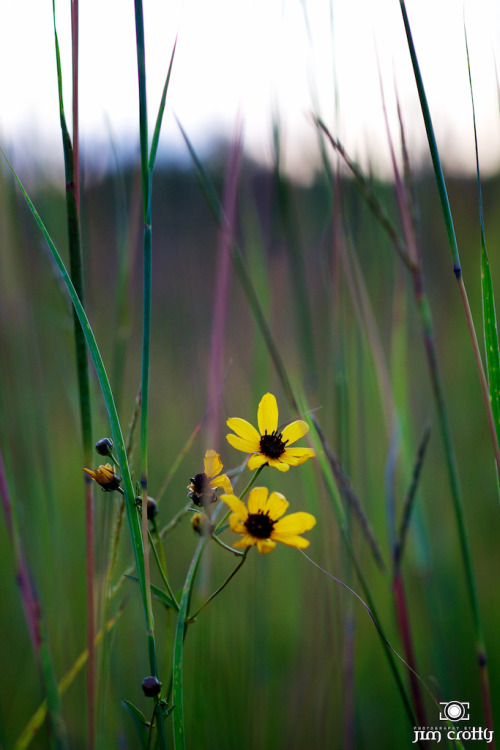 Coreopsis in the meadow. Last Friday evening @ Sugarcreek MetroPark.