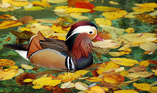 Mandarin Autumn by Art G.