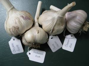 Gourmet Garlic Giveaway!!! « The Running Garlic