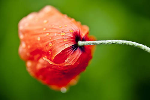 Red Poppy Bloom (by Siniša Jagarinec) you can find my most interesting pics here Click on the photo to view big on black!