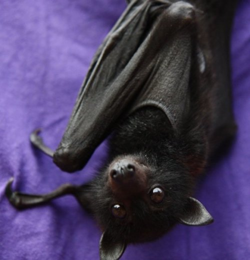 "thescreamingwoods:  so cute  Whenever I see a picture of a bat, the first thought that pops in my head is, ""that looks like Houdini."" Houdini is my mini pinscher."