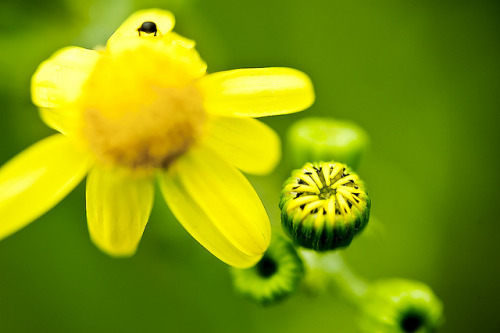 Yellow Flower (by Siniša Jagarinec)
