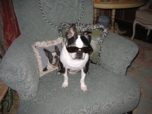 Boston terrier wearing sunglasses. fuckyeahbostonterriers:  This is Isabelle as Ray Charles! She unfortunately passed away a little over 2 years ago, but I still thing about her cuteness everyday! She is the reason I love Boston Terriers!