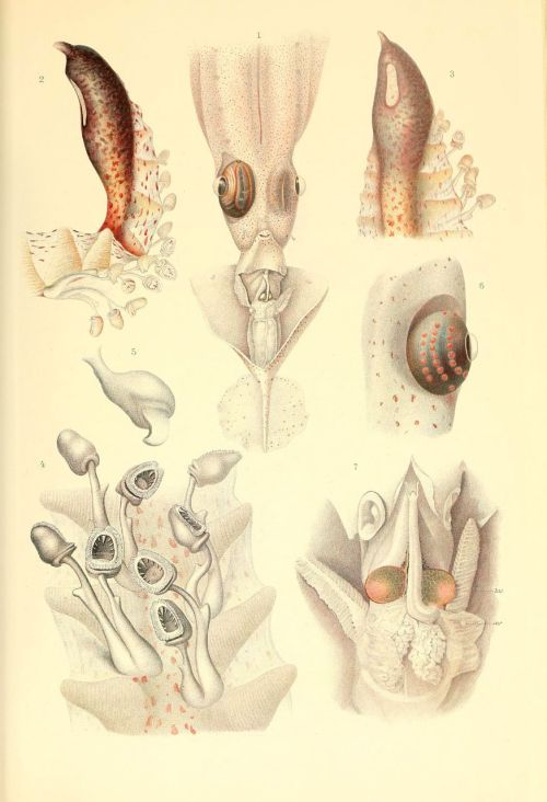 BibliOdyssey: Chiroteuthis spp. (tentacle club, glandular knob, olfactory tubercule, eye, mantle complex) from 'The Cephalopoda Part I: Oegopsida Part II: Myopsida, Octopoda Atlas' by Carl Chun, 1910 {1975 reprint}, online at the Biodiversity Heritage Library
