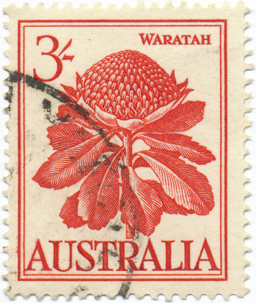 jacque:  Australian stamp c. 1959; Waratah.  Part of the Australian Native Flowers series.  Design by Margaret Stones.